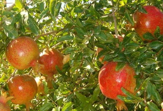 木の上で完熟したイラン産ザクロ