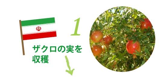 イランでザクロの実を収穫